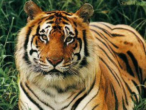 animal-tiger-wallpaper-3